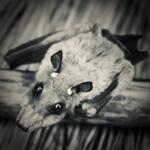 Bild von 1 von 3 Fledermäusen