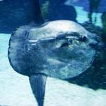 Bild von 1 von 3 Mola Mola