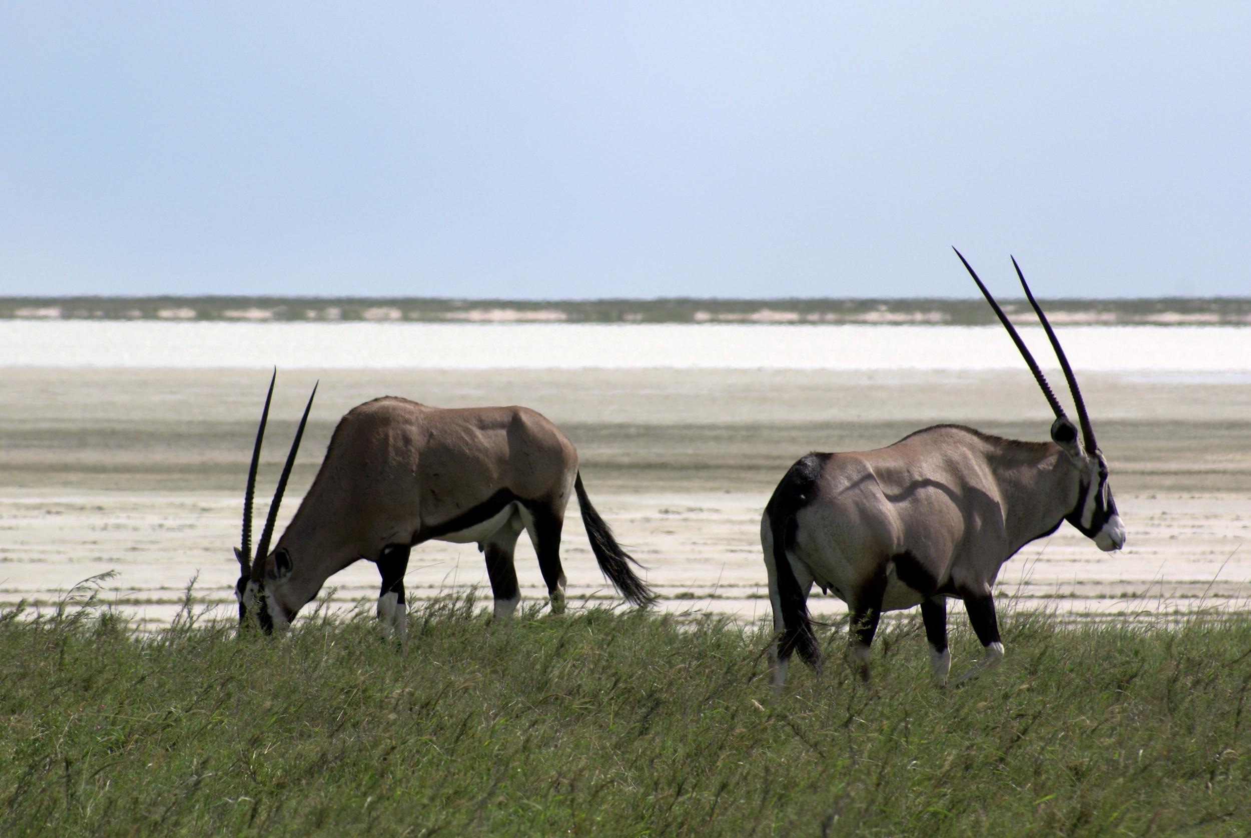 Bild von 1 von 3 Oryx