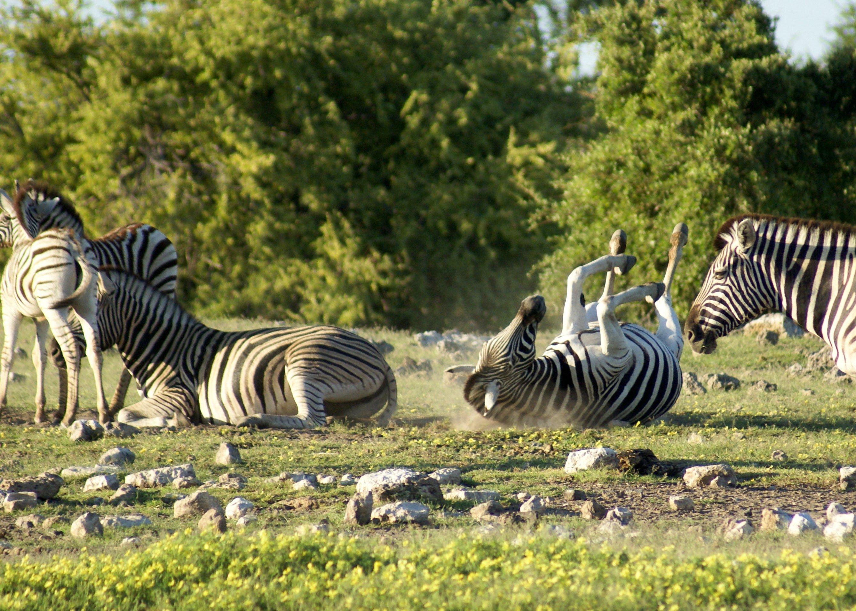 Bild von 2 von 3 Zebras