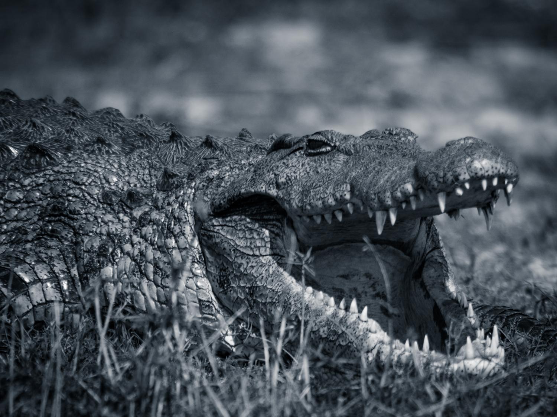 Bild von 2 von 3 Krokodilen
