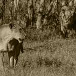 Bild von 2 von 3 Raubkatzen