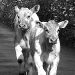 Bild von 2 von 3 Rindern