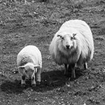 Bild von 2 von 3 Schafen